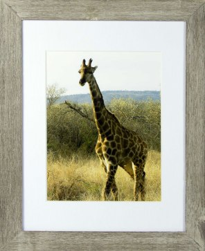 17. Lynn Lavin  Giraffe At Madikwe Game Park, S. Africa  Photograph  carrotpatchpots@aim.com